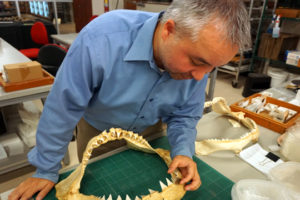 Research Paper Identifies Early Ice Age Shark Teeth In Alabama