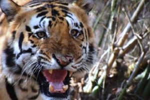 Save Our Mascots! Auburn, Clemson, LSU And Mizzou Form Tiger Consortium