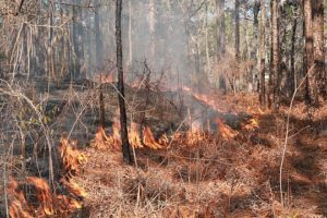 Prescribed Burns Aid In The Restoration Of The Longleaf Pine Forests