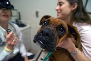 Pet And Animal Safety Can Be A Concern During Holidays, Auburn Experts Say