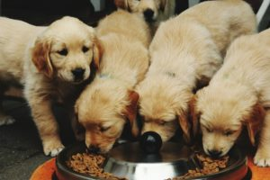 Concerns About FDA Grain-Free Dog Food Warning Best Addressed By Your Local Veterinarian, Auburn Expert Says