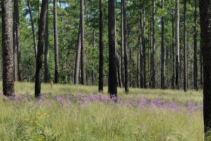 Grants To Help Conserve Alabama Pine Forests, Coastal Habitats For Rare Species