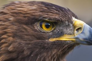 Auburn's Golden Eagle Nova, War Eagle VII, Possibly In Early Stages Of Heart Failure