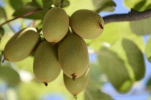 Kiwi: A New Alabama-Grown Fruit