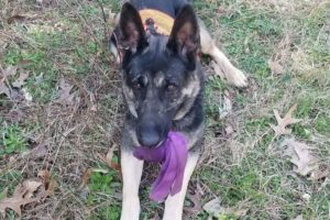 Hero German Shepherd from Alabama Vies to be Country's Top Dog in National American Humane Contest