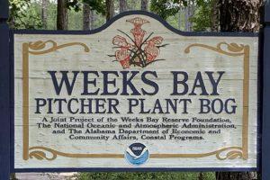Enjoy the Beauty of Weeks Bay Pitcher Plant Bog Near Fairhope