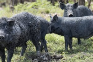 Alabama NewsCenter — Auburn University Researchers Examine Impact of Feral Swine in Alabama to Decrease Devastation