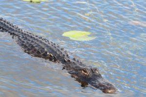 Alabama NewsCenter — Is the American Alligator Population in Tuscaloosa Increasing?